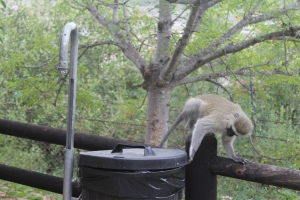 Cheeky monkey_small